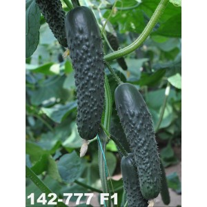 Огурец 142-777 F1 / 142-777 F1 Yuksel Tohum