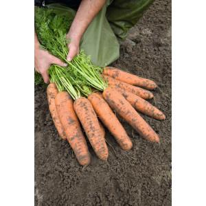 Морковь БАЗЕЛЬ F1 / BAZEL F1 Bejo