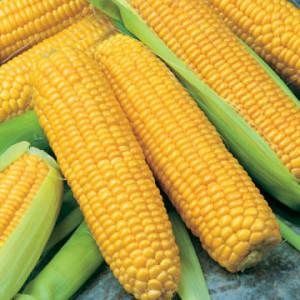 Кукуруза УТРЕННЯЯ ПЕСНЯ F1 Поиск