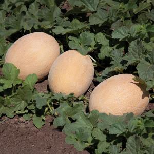 Дыня КС 6147 F1 / KS 6147 F1 Kitano Seeds