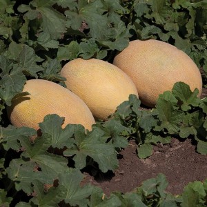 Дыня КС 6188 F1 / KS 6188 F1 Kitano Seeds