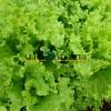 Салат батавия КС 190 / KS 190 Kitano Seeds