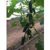 Огурец СВ 3506 ЦВ F1 Seminis  фото 6