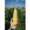 Кукуруза «Bi-color» ЛИБЕРТОН F1 / LIBERTON F1 Agri Saaten  фото 2