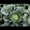 Капуста белокочанная ВАРДЕКО F1 / VARDEKO F1 Takii Seeds
