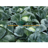 Капуста белокочанная СТРУКТА F1 / STRUCTA F1 Takii Seeds