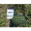 Арбуз ДИНАСТИЯ F1 / DYNASTY F1 Hollar Seeds  фото 2