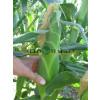 Кукуруза ВОНДЕРЛЕНД F1 / WONDERLAND F1 Agri Saaten  фото 2