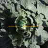 Капуста белокочанная ПРЕДЕКО F1 Takii Seeds  фото 3