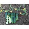 Огурец МАЛИКА F1 / MALIKA F1 Quality Seeds  фото 2