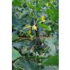 Огурец КАРОЛИНА F1 / KAROLINA F1 Quality Seeds  фото 2