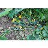 Огурец КАРОЛИНА F1 / KAROLINA F1 Quality Seeds  фото 8