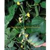 Огурец КАРОЛИНА F1 / KAROLINA F1 Quality Seeds  фото 7