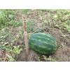 Арбуз АВАНГАРД (HSR 4677) / AVANGARD Hollar Seeds