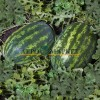 Арбуз KS 163 F1 Kitano Seeds  фото 2