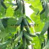 Огурец KS 90 F1 (КАМИНАРИ) / KAMINARI Kitano Seeds  фото 3