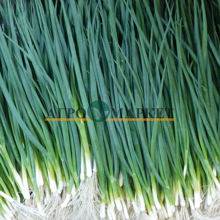 Лук Батун (на перо) ВУЛКАН / VULKAN Kitano Seeds  фото 2
