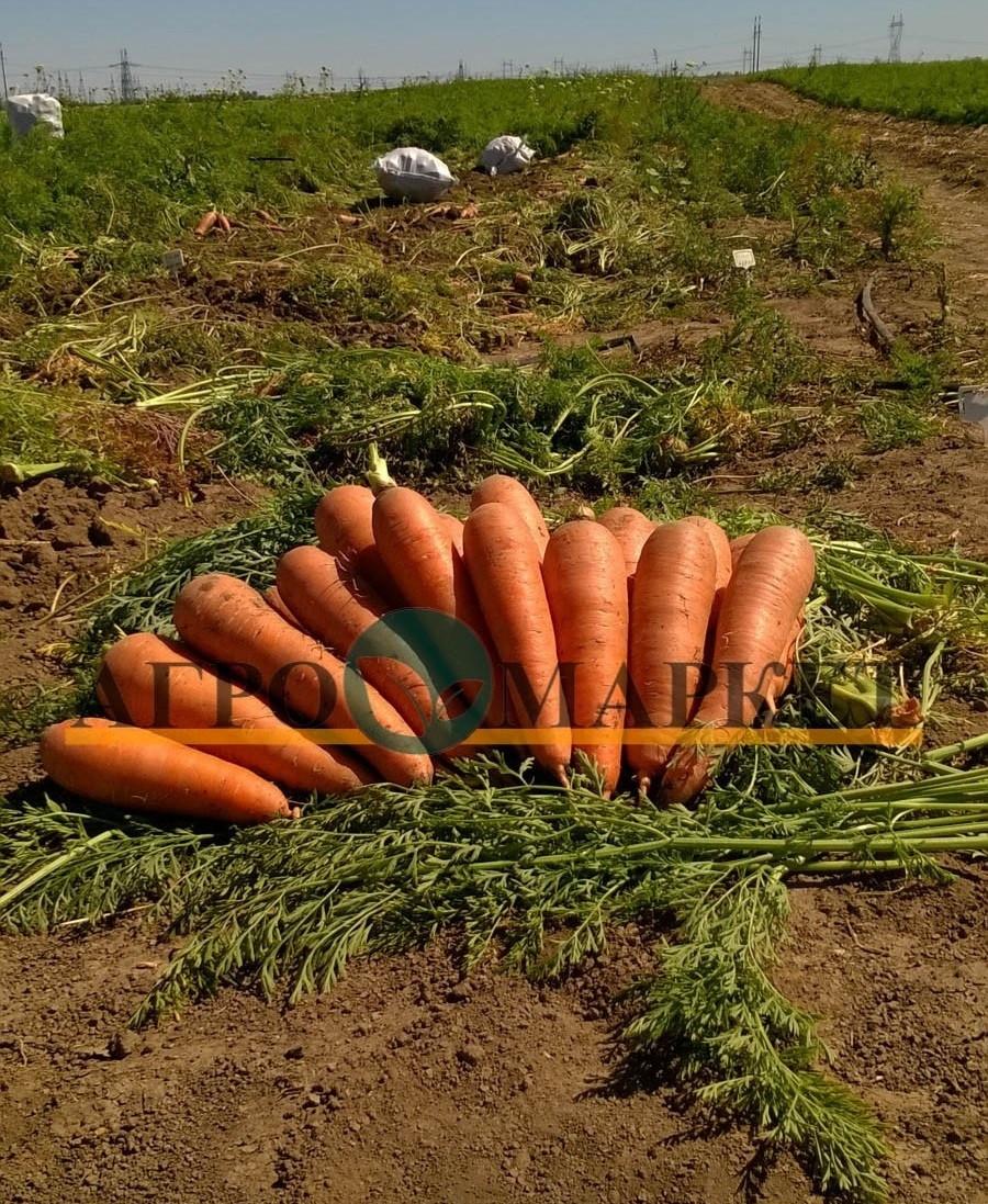 Морковь ПРОМИНАНС F1 / PROMINANS F1 Takii Seeds