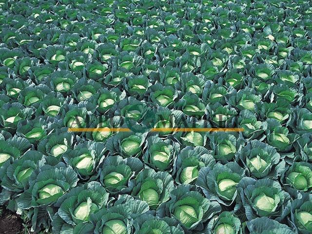 Капуста белокочанная ГРИН РИЧ F1 / GREEN RICH F1 Takii Seeds