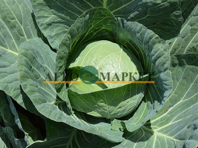 Капуста белокочанная КОМПАС F1 / COMPASS F1 Takii Seeds