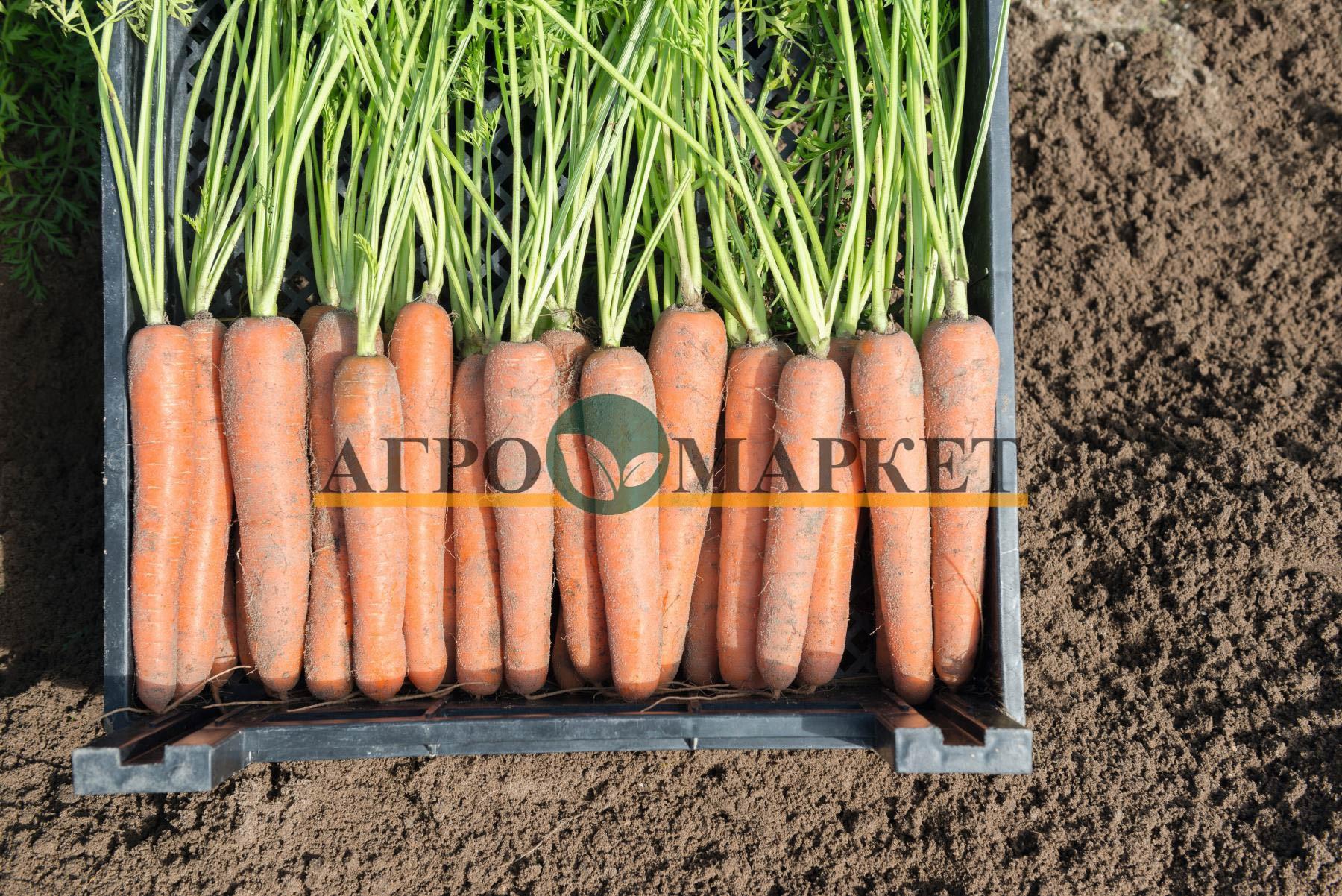 Морковь НЬЮХОЛЛ F1 / NYUKHOLL F1 Bejo  фото 2