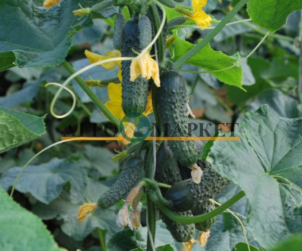 Огурец КАРОЛИНА F1 / KAROLINA F1 Quality Seeds  фото 3
