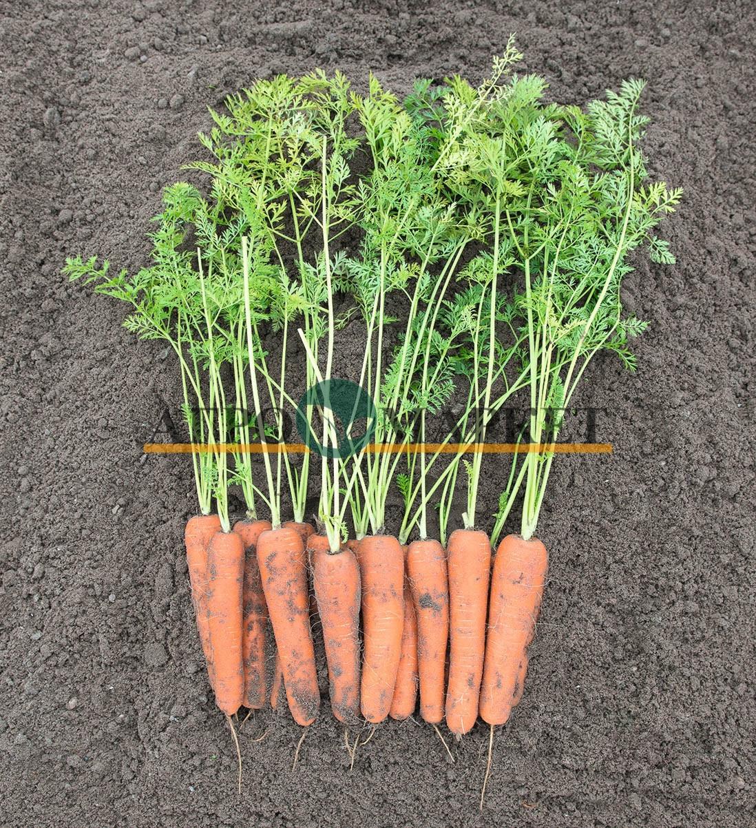 Морковь НИРИМ F1 / NIRIM F1 Bejo  фото 2