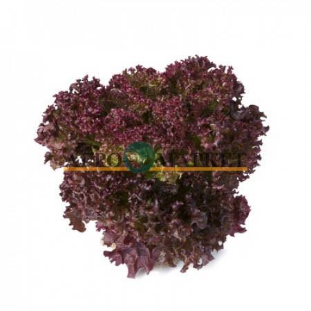 Салат листовой САТИН (лолло росса) / SATIN Rijk Zwaan  фото 2