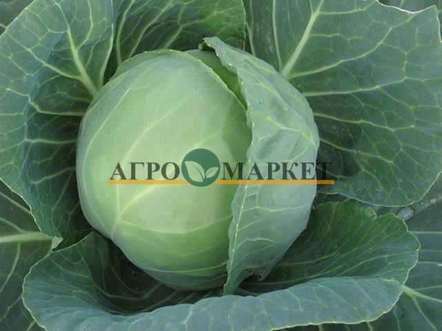 Капуста белокочанная ПРЕСТАР F1 / PRESTAR F1 Takii Seeds  фото 2