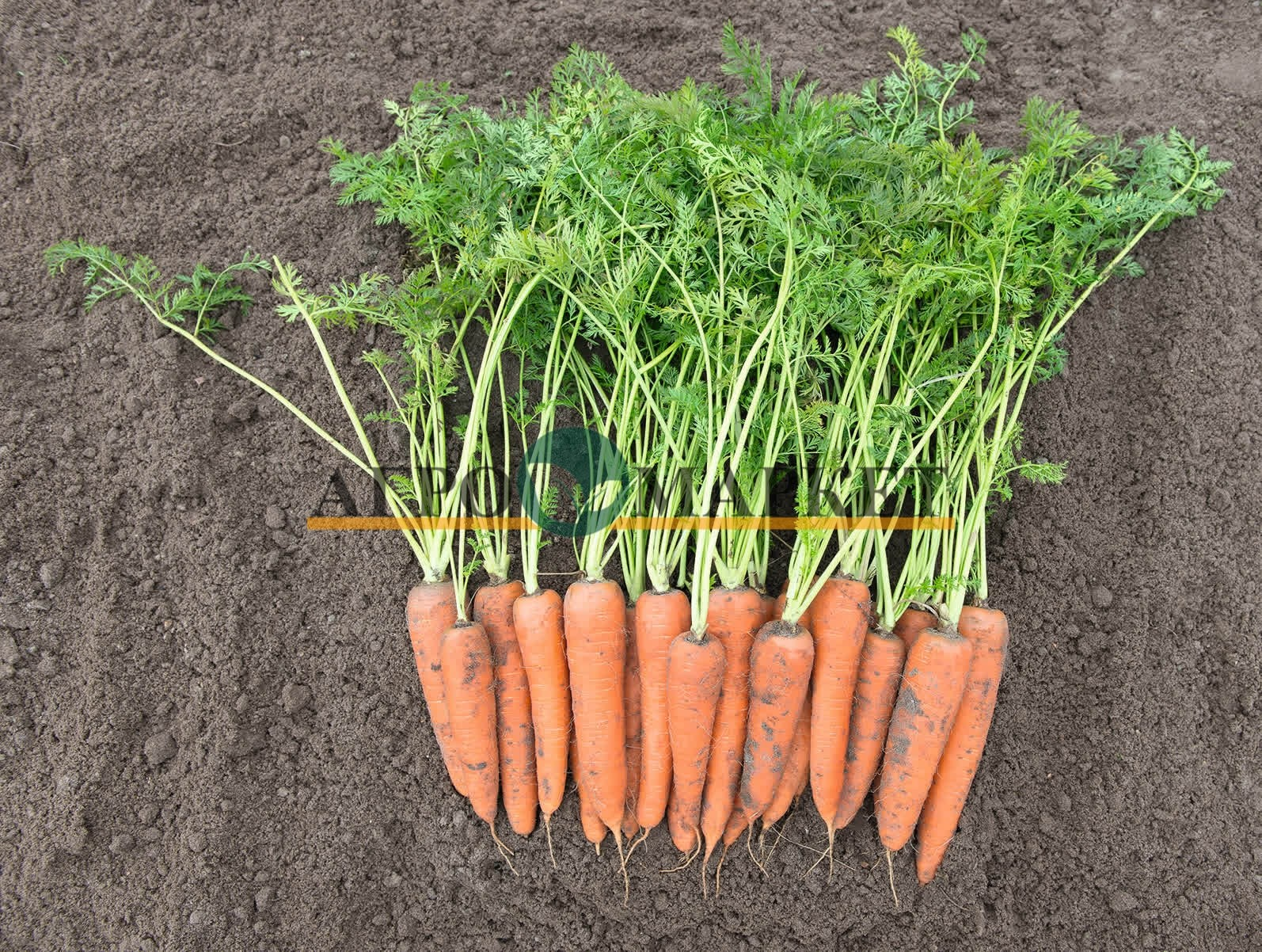 Морковь ВИТА ЛОНГА / VITA LONGA Bejo  фото 2