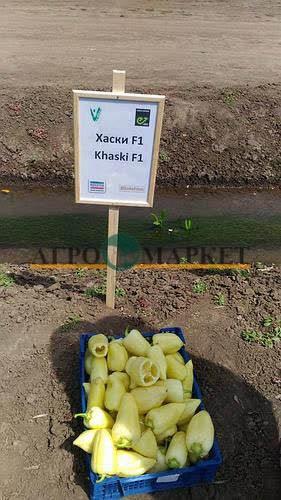 Перец сладкий ХАСКИ F1 / KHASKI F1 Enza Zaden  фото 2