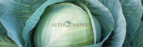 Капуста белокочанная ТРИПЕРИО F1 Syngenta  фото 2