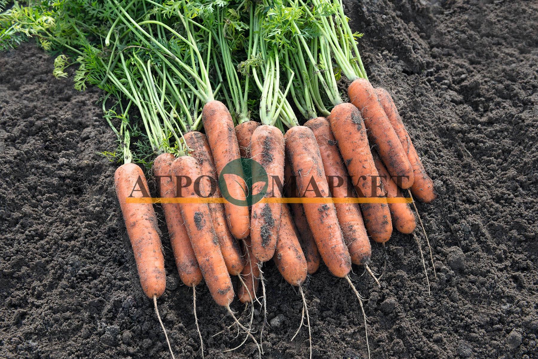 Морковь НАТУНА F1 / NATUNA F1 Bejo  фото 2
