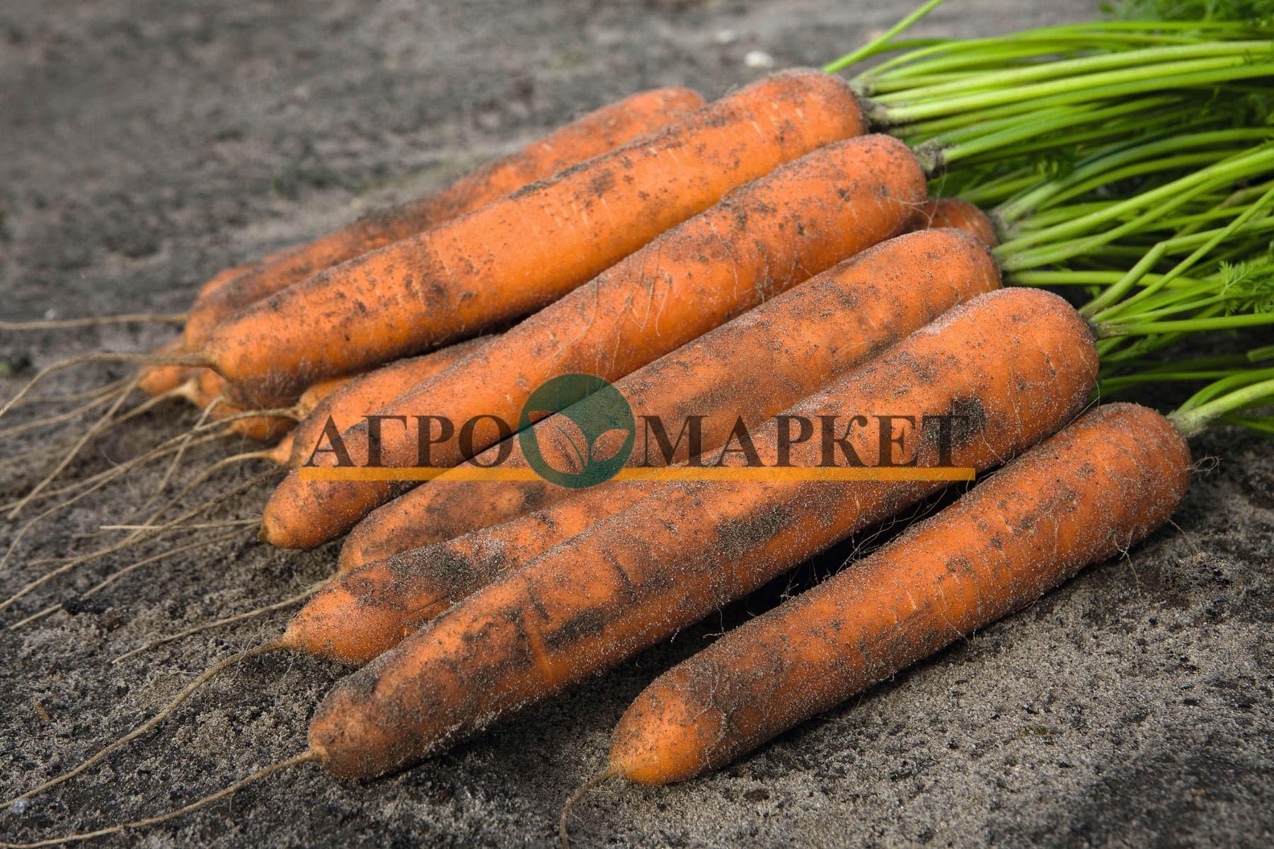 Морковь НИЛАНД F1 / NILAND F1 Bejo  фото 2