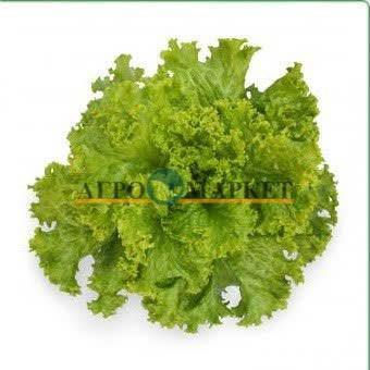 Салат батавия КС 129 / KS 129 Kitano Seeds