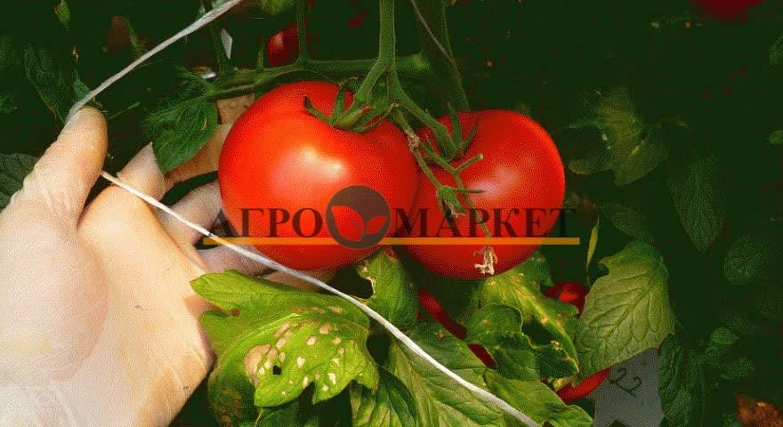 Томат КОРВИНУС F1 / KORVINUS F1 Seminis  фото 15