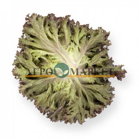 Салат листовой ЭНТОНИ (лолло росса) / ENTONI Rijk Zwaan  фото 2