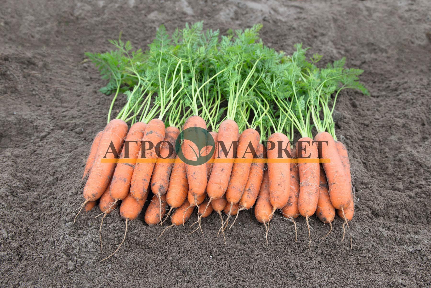 Морковь НЬЮКАСЛ F1 / NYUKASL F1 Bejo  фото 2