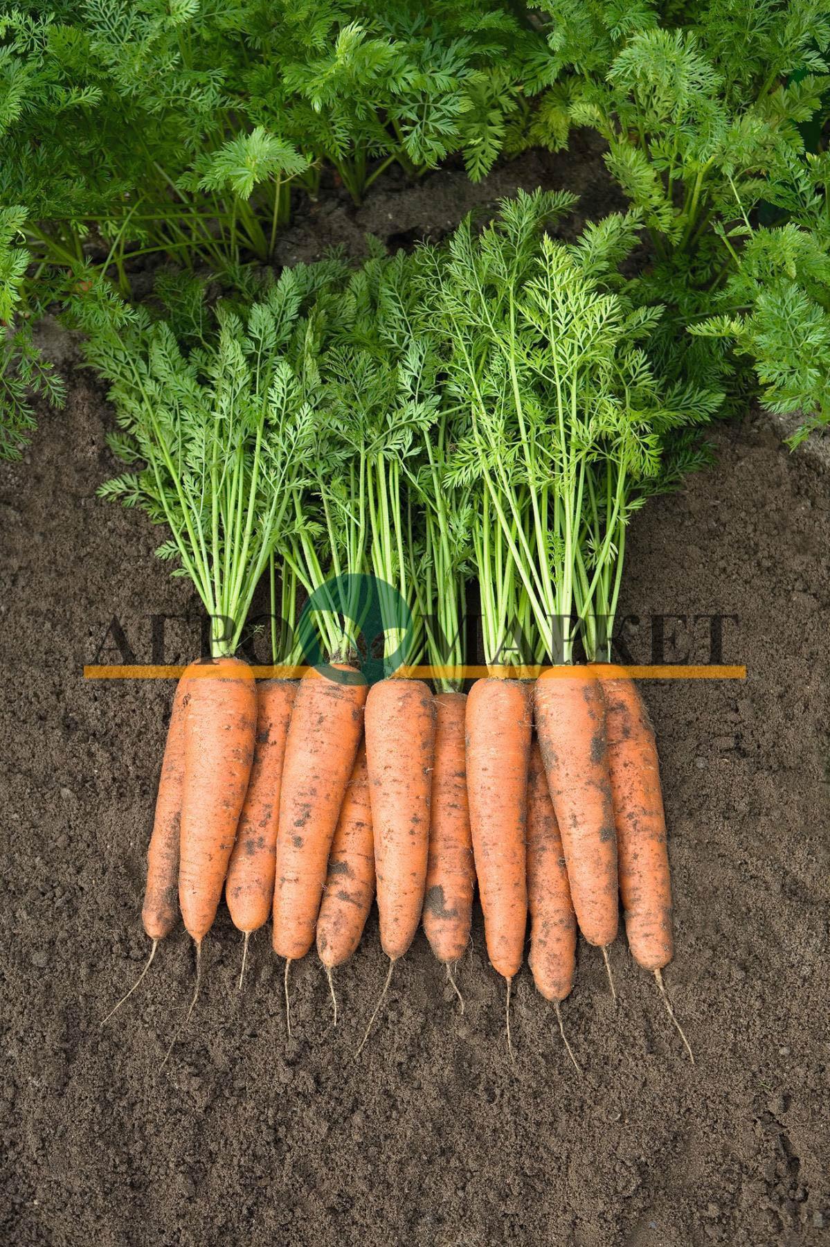 Морковь БЕЛГРАДО F1 / BELGRADO F1 Bejo  фото 2