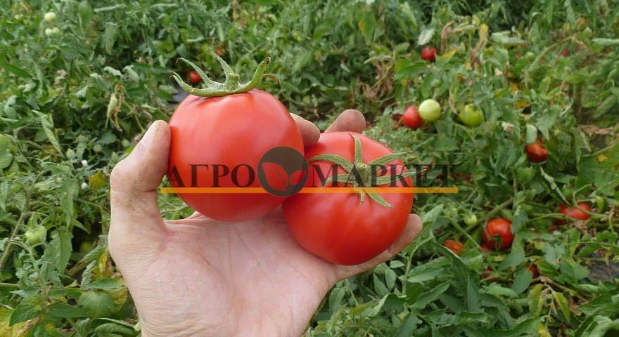 Томат СУПЕР РЕД F1 / SUPER RED F1 Seminis  фото 2