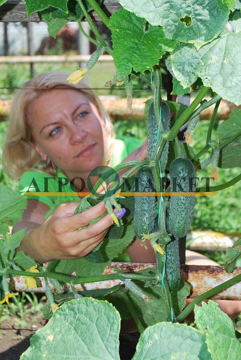 Огурец КАРОЛИНА F1 / KAROLINA F1 Quality Seeds