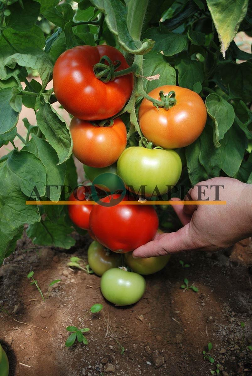 Томат РЭД ХАРВЕСТ F1 / RED HARVEST F1 Quality Seeds  фото 2
