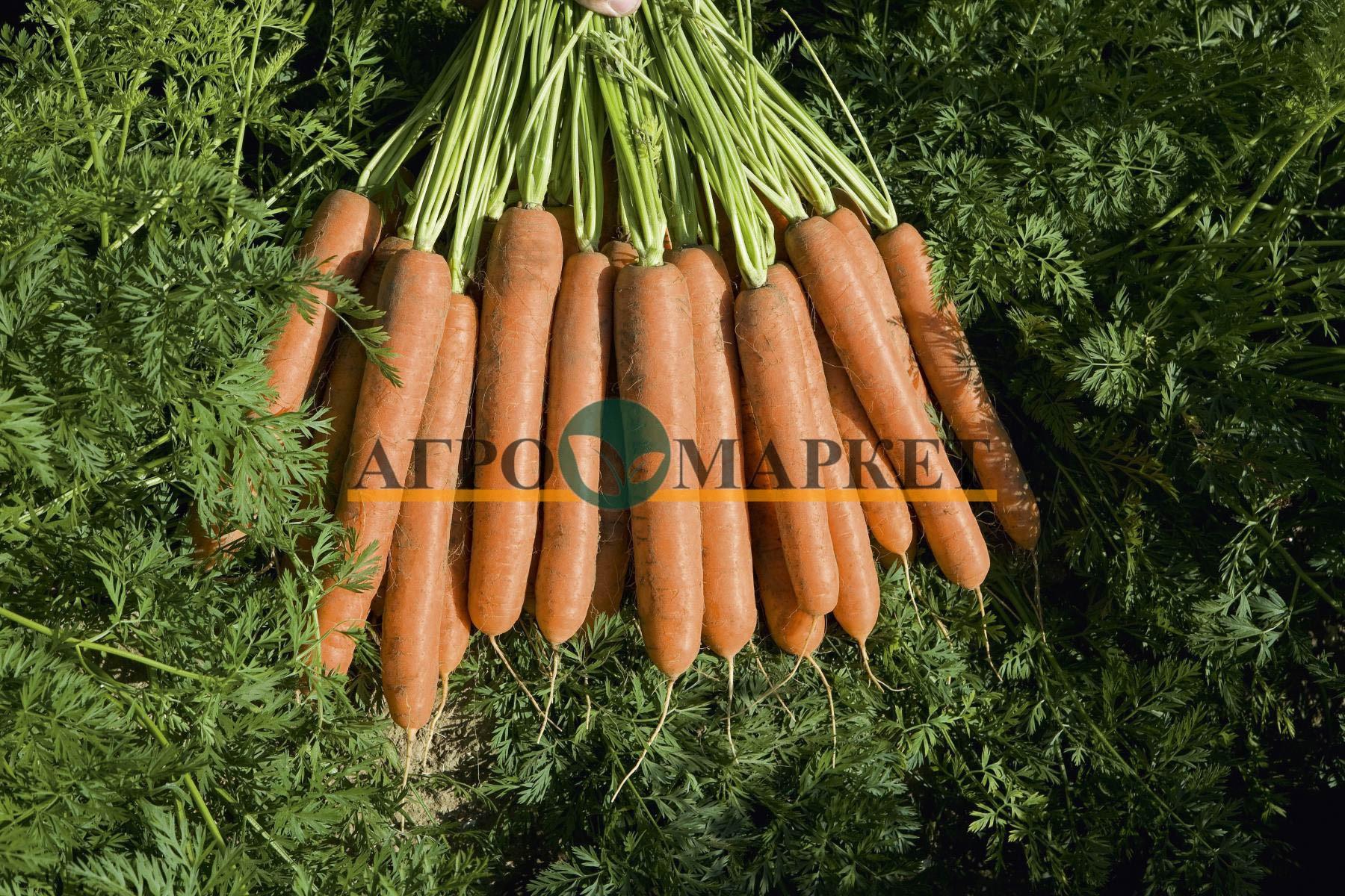 Морковь НАМДАЛ F1 / NAMDAL F1 Bejo  фото 2