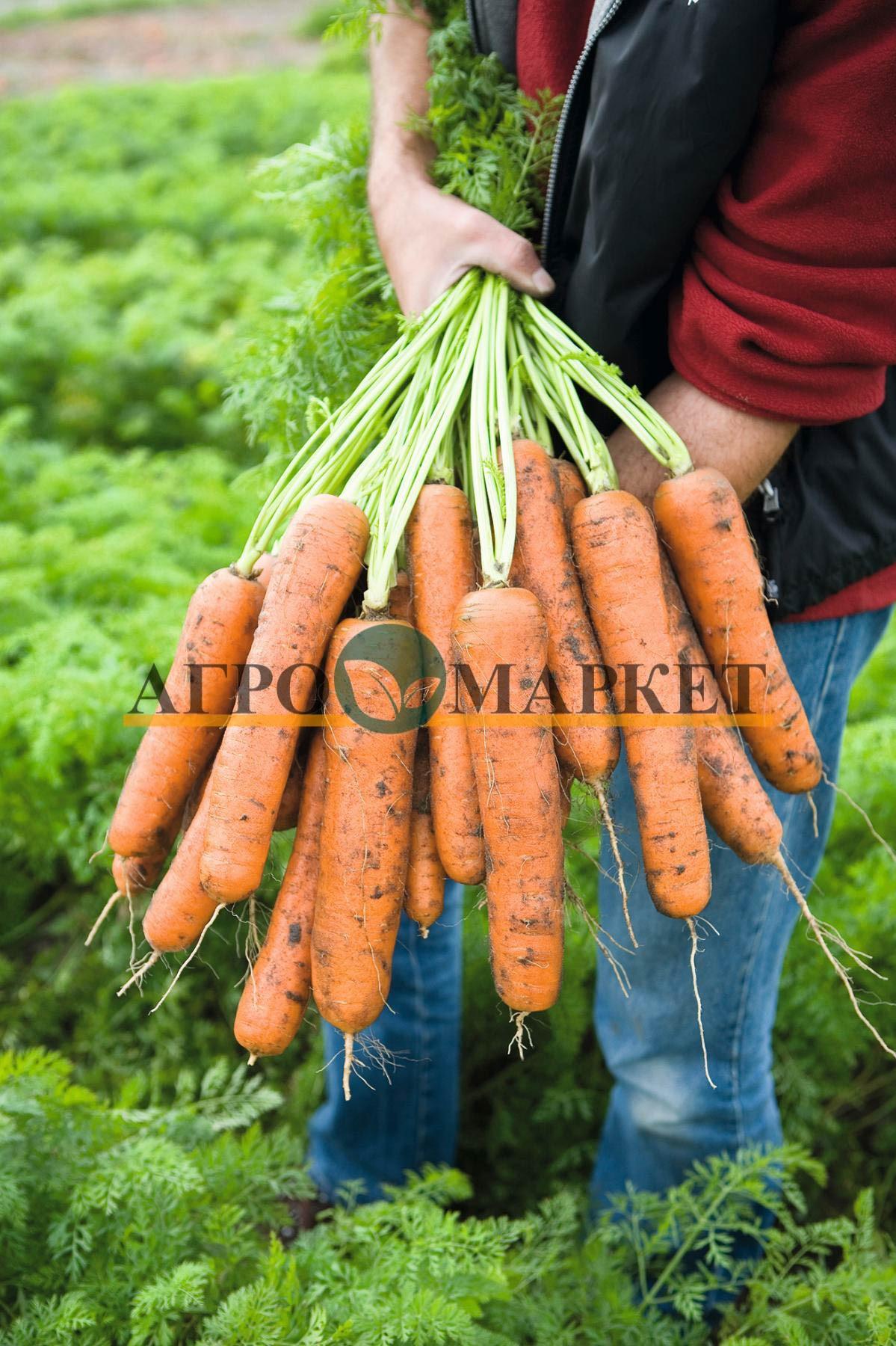 Морковь НАЯРИТ F1 / NАYARIT F1 Bejo  фото 2