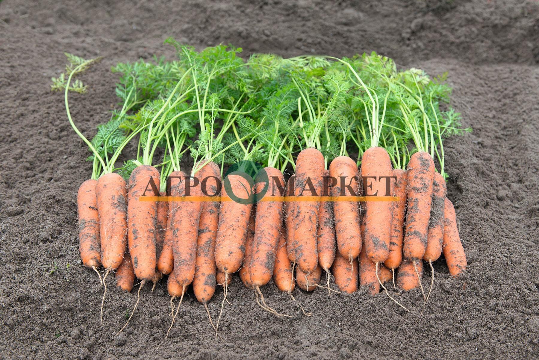 Морковь РОМОСА / ROMOSA Bejo  фото 2