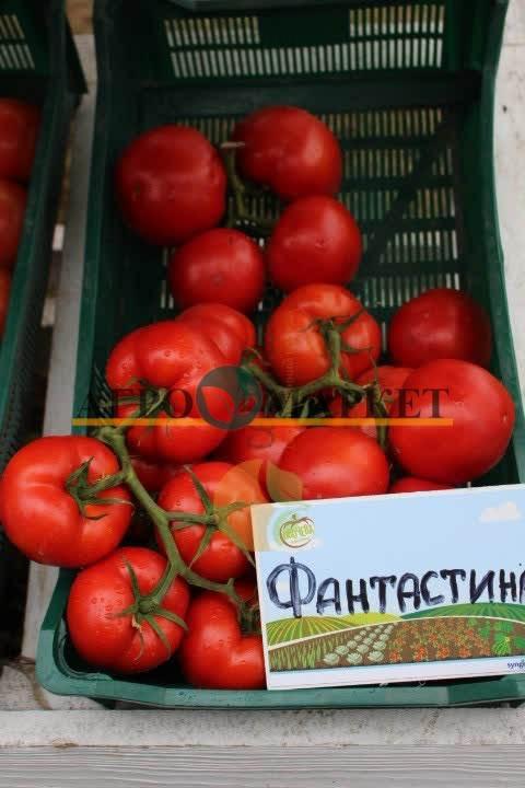 Томат ФАНТАСТИНА F1 / FANTASTINA F1 Syngenta  фото 2