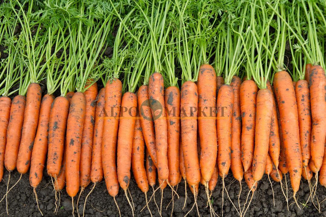 Морковь КАРВОРА F1 / CARVORA F1 Seminis  фото 2