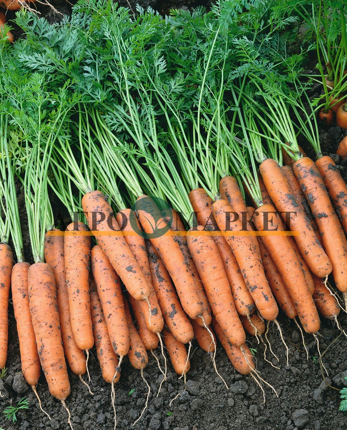 Морковь НАПОЛИ F1 / NAPOLI F1 Bejo  фото 2