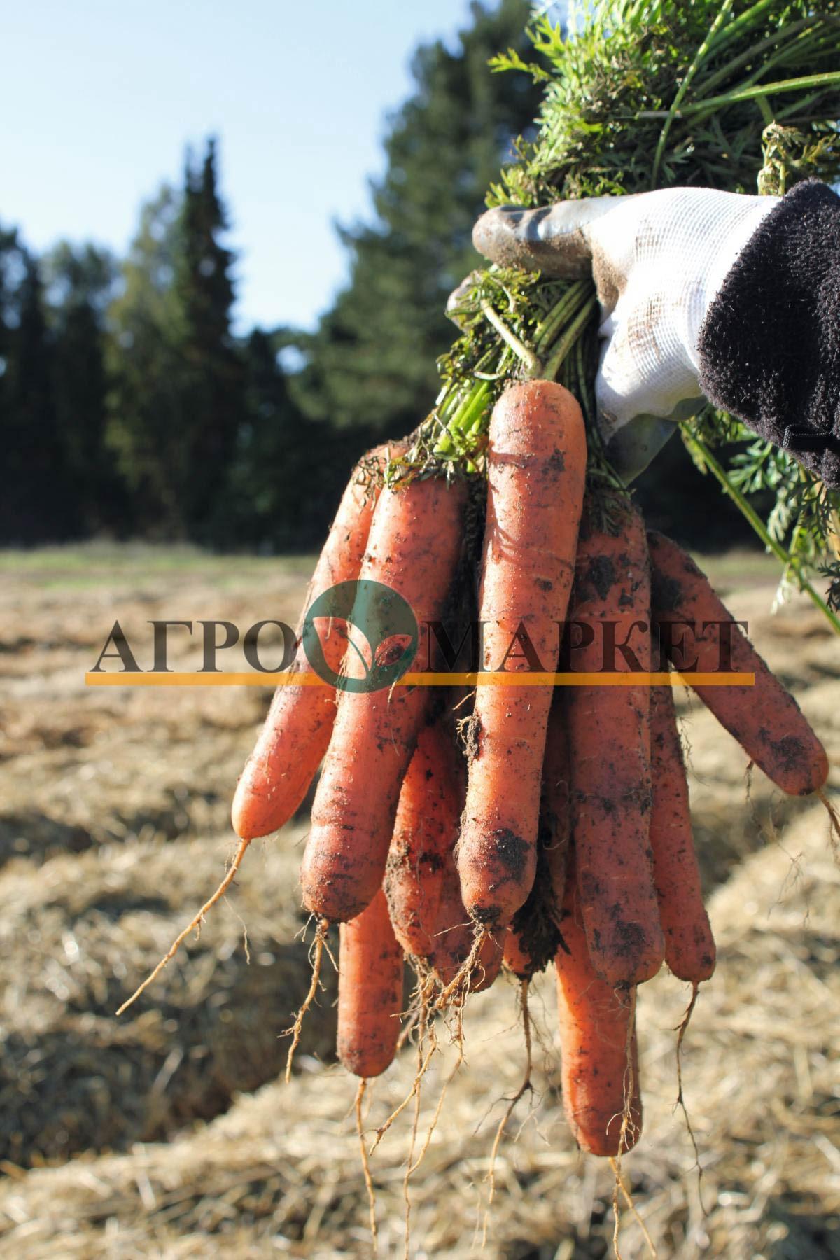 Морковь НАТУНА F1 / NATUNA F1 Bejo