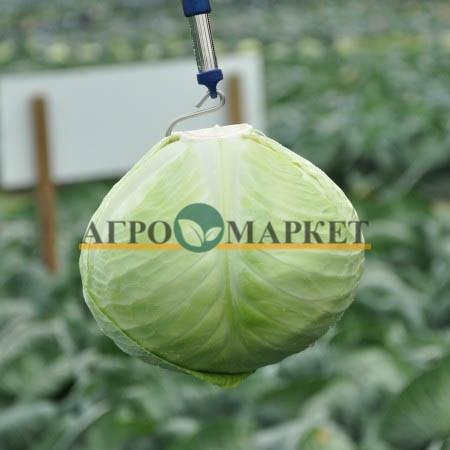 Капуста белокочанная АНКОМА F1 / ANKOMA F1 Rijk Zwaan  фото 2